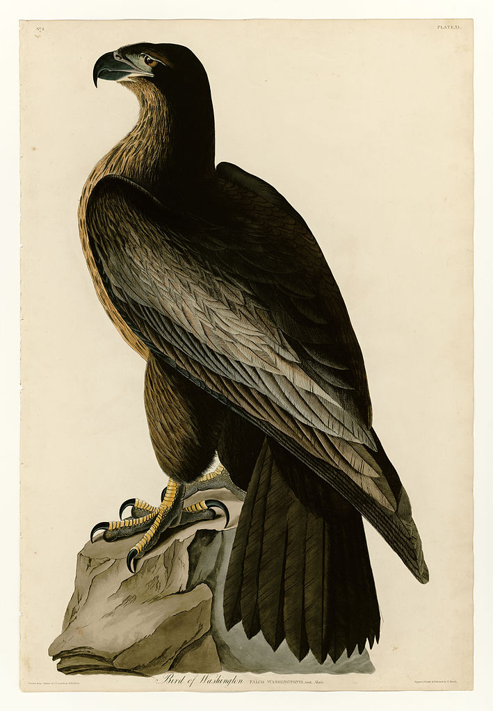 Plate 11 of Birds of America by John James Audubon depicting Bird of Washington